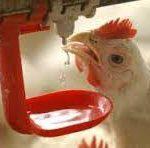 آبخوری اتوماتیک برای مرغداری