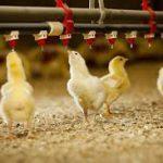سیستم آبخوری مرغداری