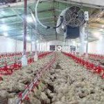 فروش سیستم دانخوری مرغداری